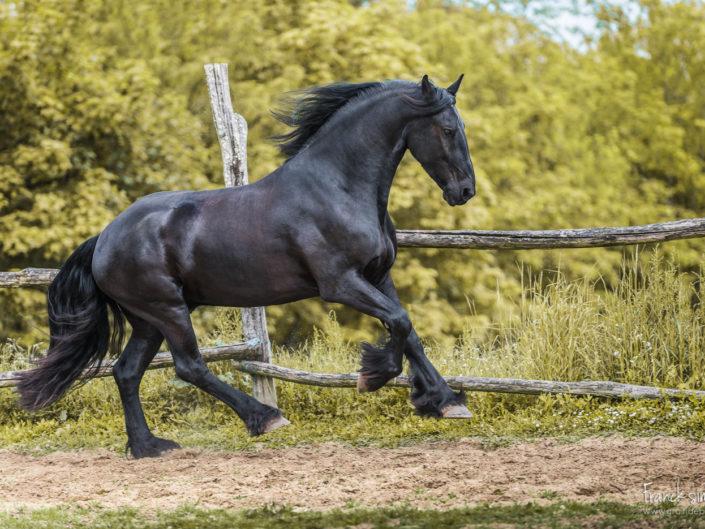 cheval-mouvement-Yelke-frison-galop-grain-de-pixel-photographe-equestre