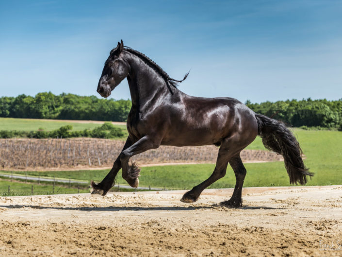 Yelke-frison-grain-de-pixel-photographe-equestre-animalier-4