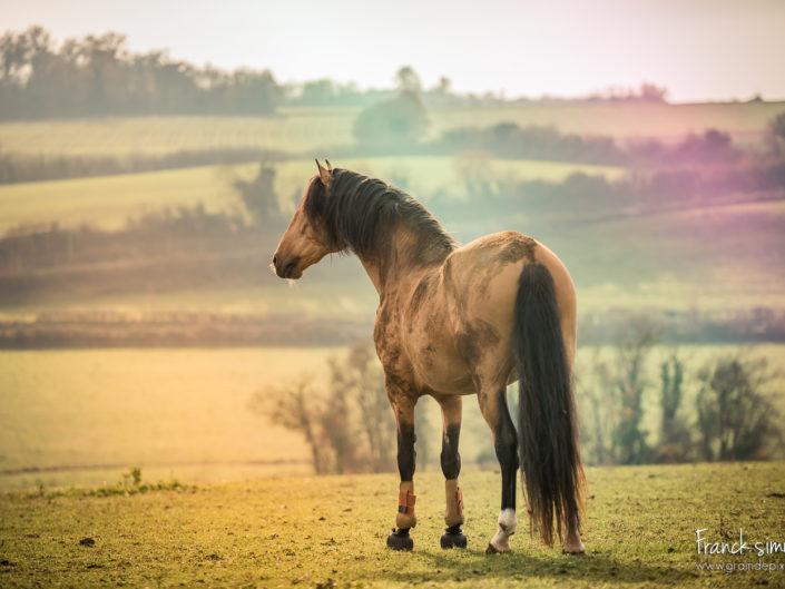cheval-bavard-lumière-pré-franck-simon-grain-de-pixel-photographe-equestre-