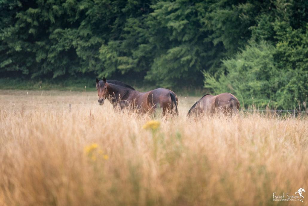 élevage-merlande-cheval-liberté-série-photo-equestre-franck-simon-photographe-équestre-et-animalier-charente-1-5