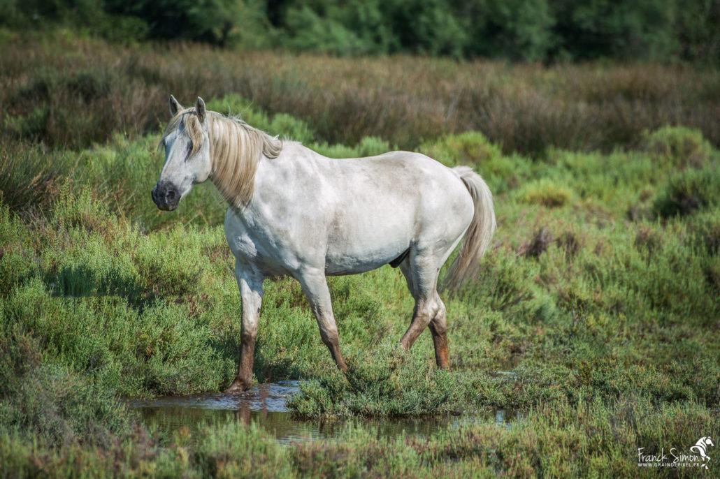 cheval-camargue-coeur-argent-sériephoto-equestre-franck-simon-photographe-équestre-et-animalier-charente-1