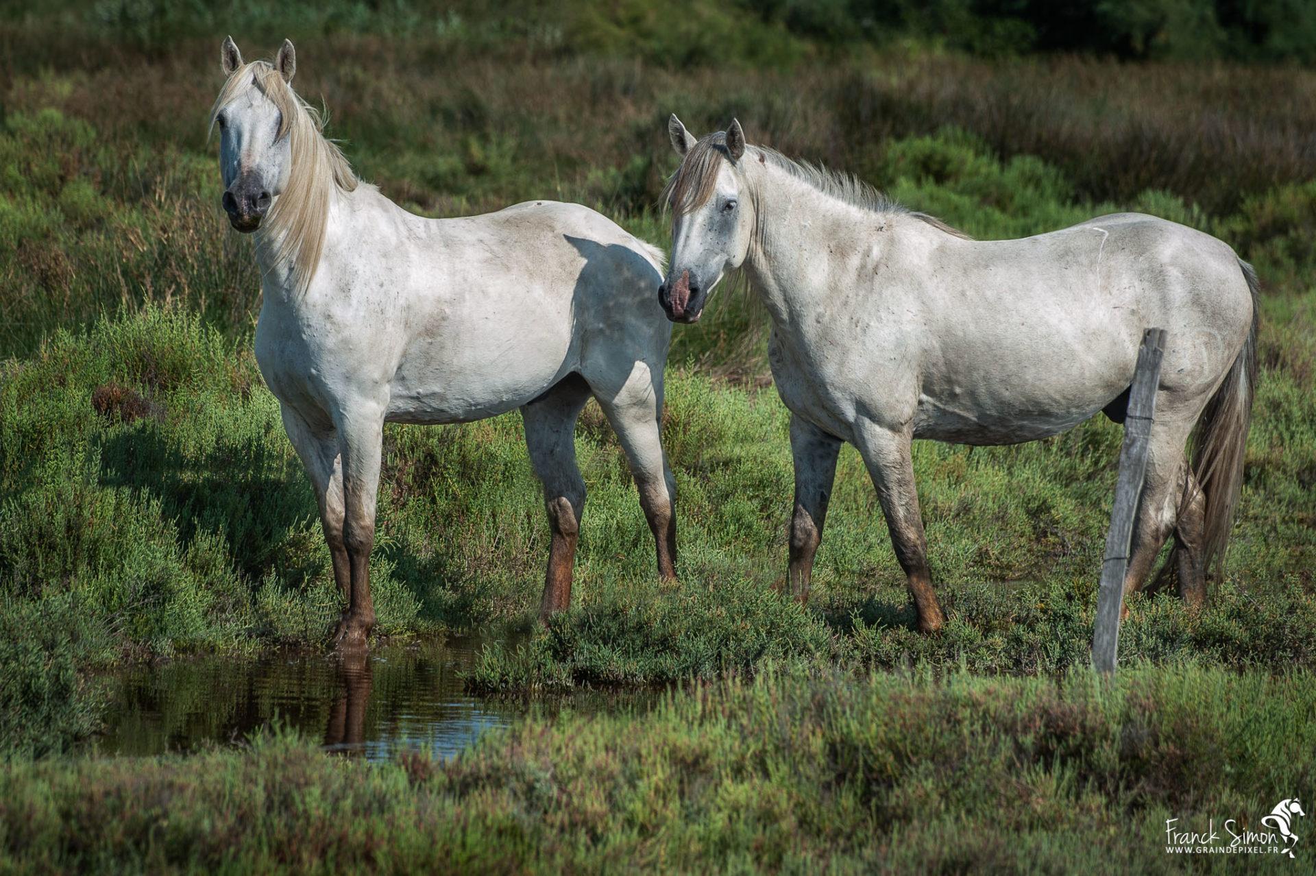 Coeur d'argent, le cheval de Camargue