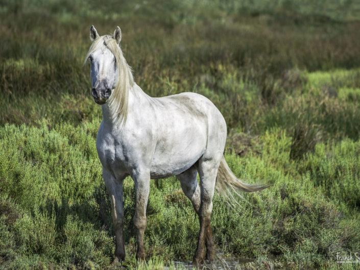 Coeur d'Argent, cheval de Camargue
