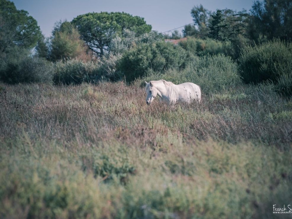 cheval-liberté-camargue-franck-simon-grain-de-pixel-photographe-équestre-animalier-charente
