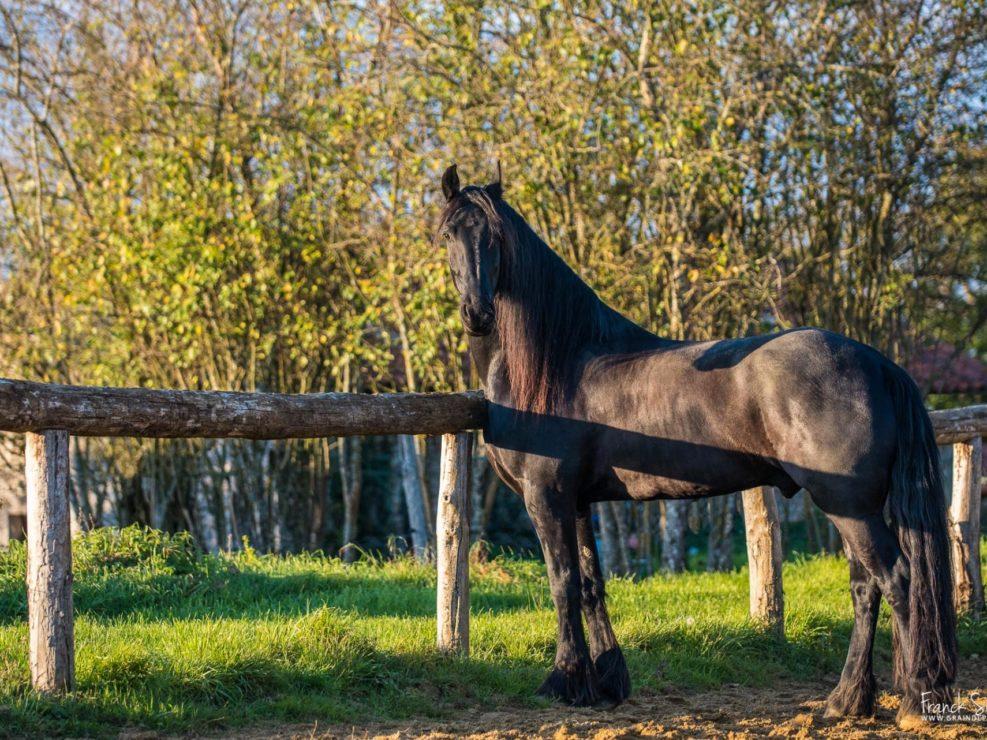 cheval-liberté-frison-cheval-bavard-franck-simon-grain-de-pixel-photographe-équestre-animalier-charente (2)