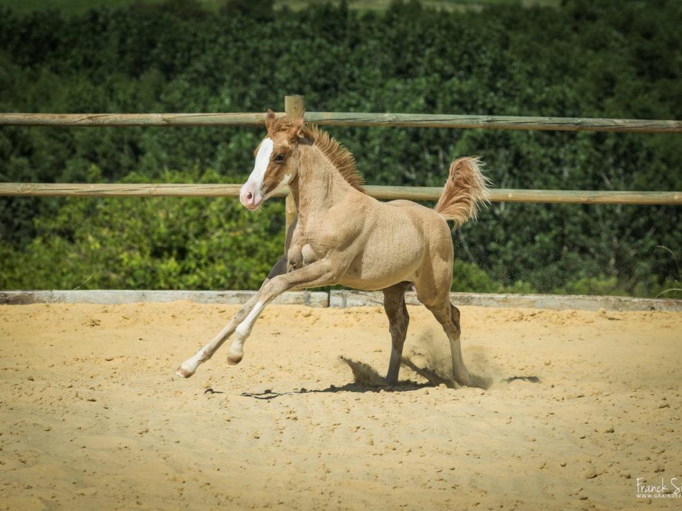 ecurie-grand-guillon-ladiville-franck-simon-grain-de-pixel-photographe-equestre-et-animalier-54