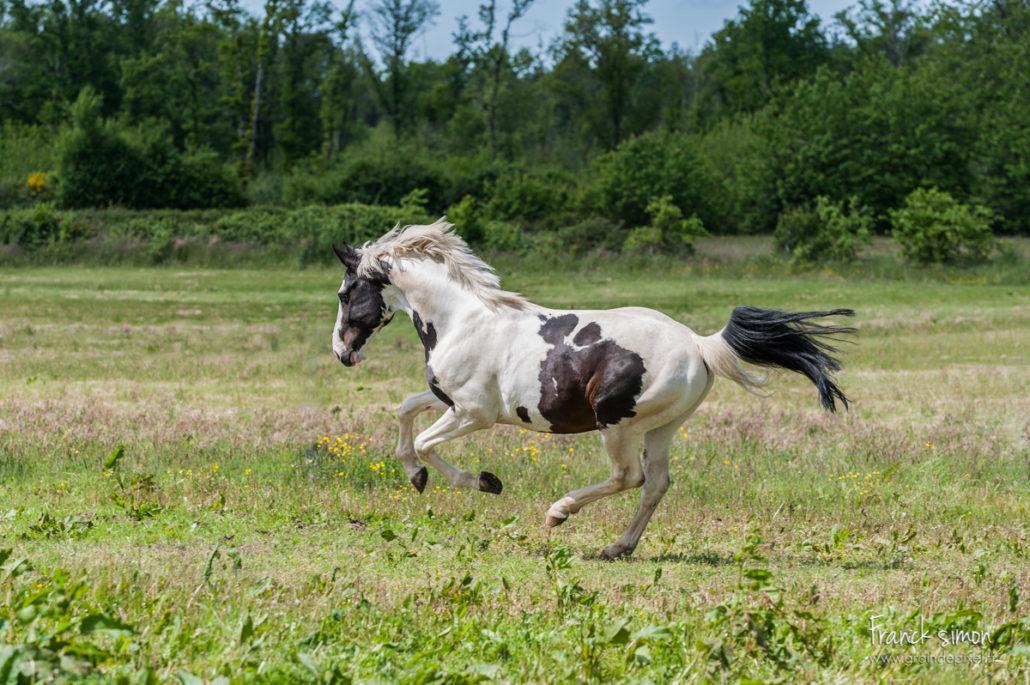 elevage-chevaux-dorianeva-vortex-pixel-photographe-equestre