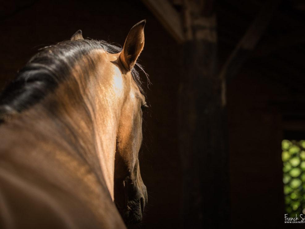 ombres-lumières-équestre-franck-simon-grain-de-pixel-photographe-équestre-et-animalier-charente