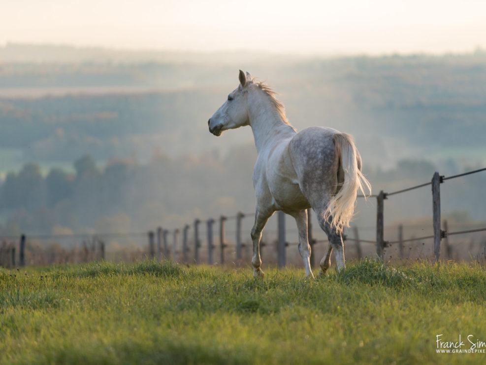 portrait-anglo-arabe-pré-grain-de-pixel-photographe-equestre
