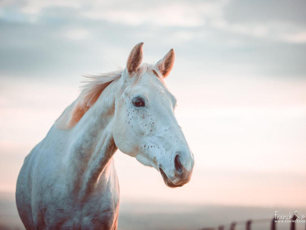 photographie-équetsre-expression-portrait-anglo-arabe-pré-grain-de-pixel-photographe-equestre-9