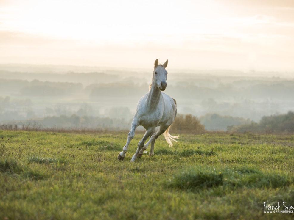 portrait-anglo-arabe-pré-grain-de-pixel-photographe-equestre-galeries-clients