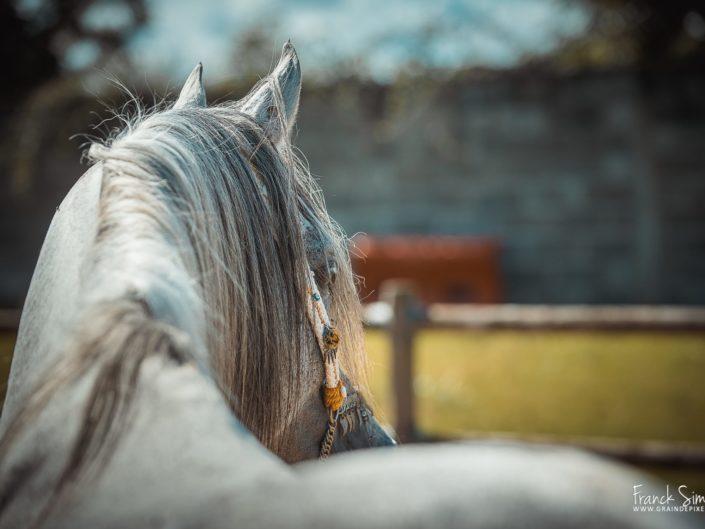 portrait-cheval-arabe-grain-de-pixel-photographe-equestre-2