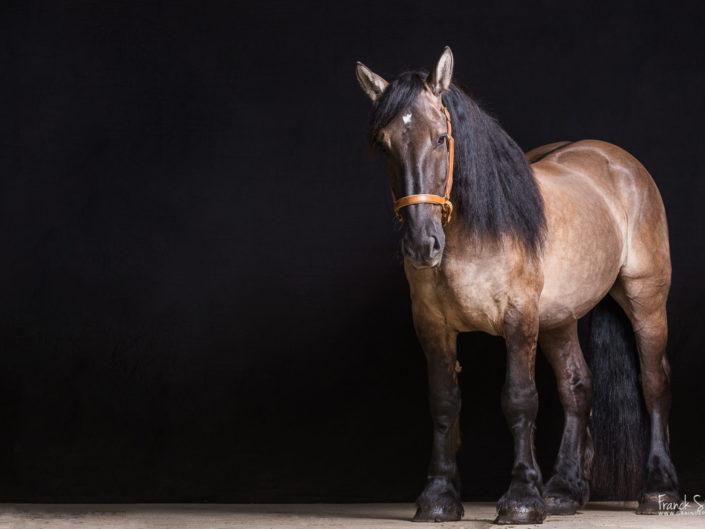 baltazar-des-picanais-trait-poitevin-force-tranquille-grain-de-pixel-photographe-animalier-franck-simon