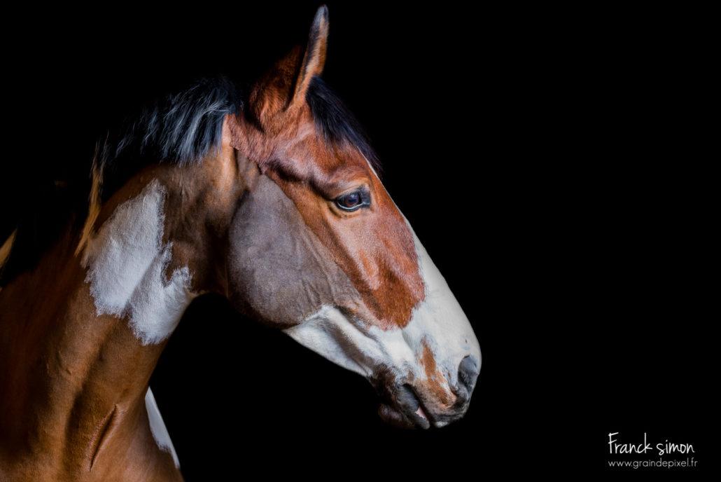 portrait-studio-cheval-pie-grain-de-pixel-photographe-equestre