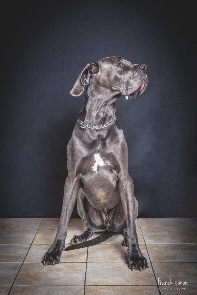 duo-dogues-allemand-séance-chien-franck-simon-photographe-animalier-1