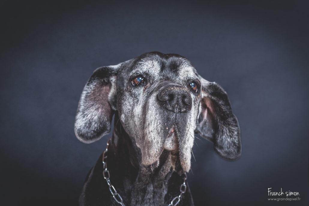 duo-dogues-allemand-séance-chien-franck-simon-photographe-animalier