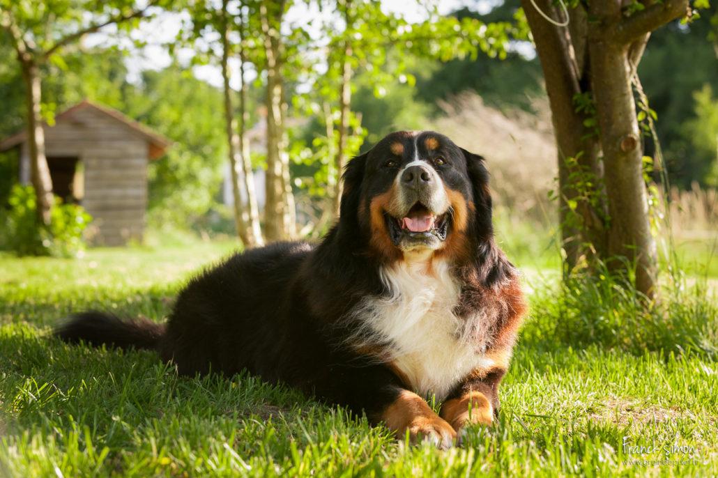 gordon-feydo-bouvier-bernois-seance-chien-franck-simon-grain-de-pixel-photographe-animalier-