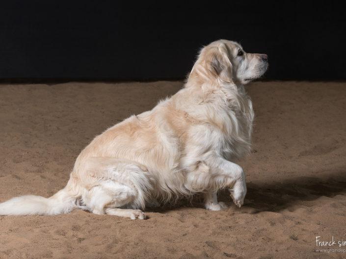 hercule-golden-retriever-grain-de-pixel-photographe-equestre-1
