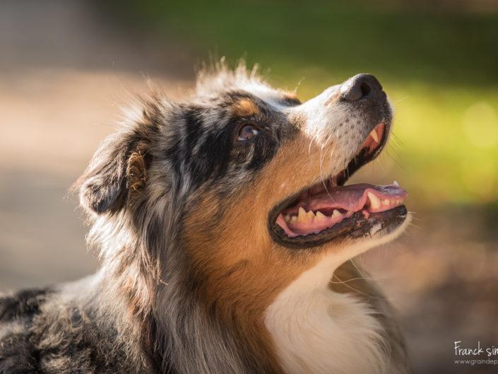 hounaye-berger-australien-séance-chien-franck-simon-grain-de-pixel-photographe-animalier-