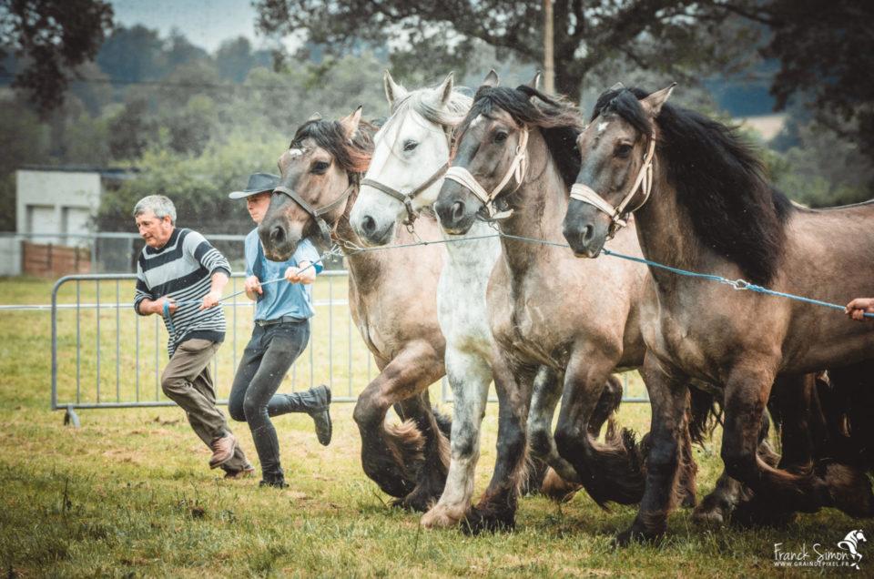 trait-poitevin-hiesse-grain-de-pixel-photographe-equestre-animalier-2