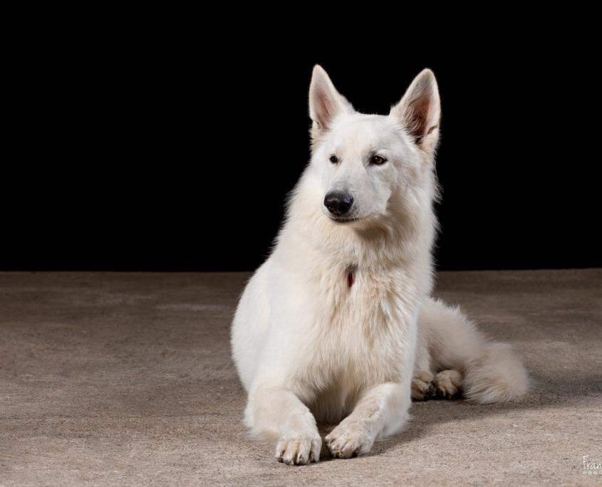 Olaf, Berger Blanc Suisse - grain depixel, photographe animalier