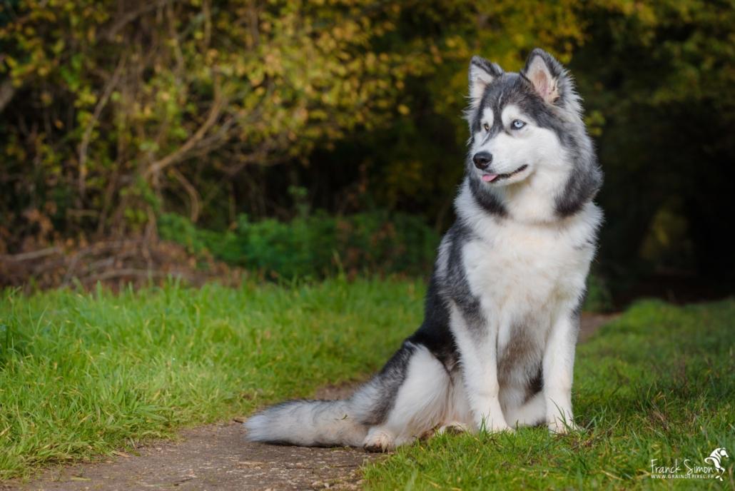Django-et-Haska-chien-Husky-Grain-de-Pixel-102