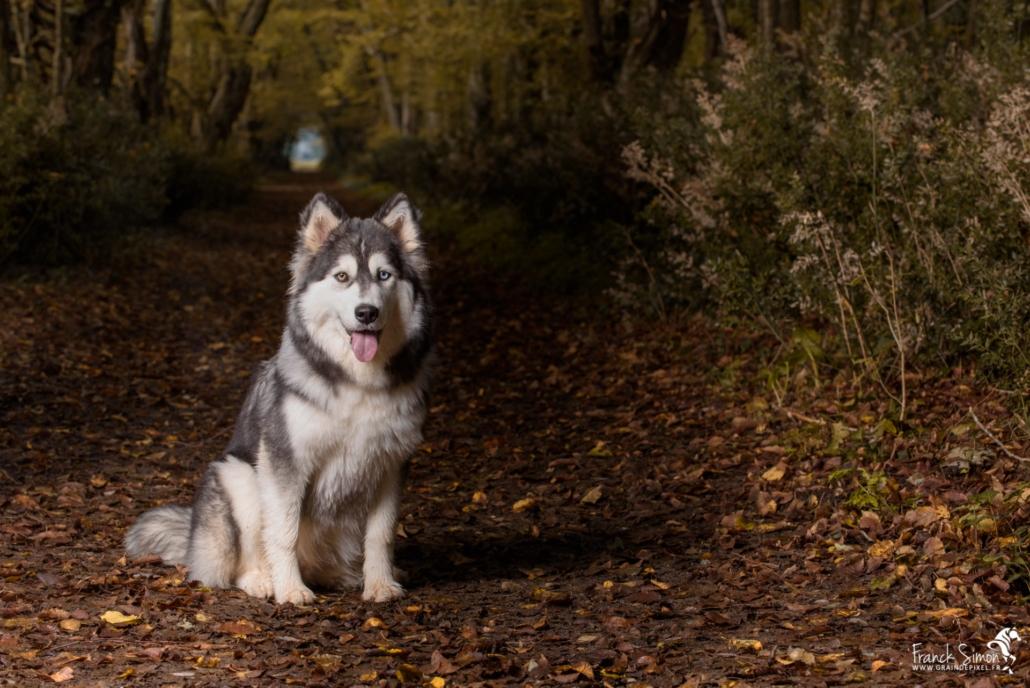 Django-et-Haska-chien-Husky-Grain-de-Pixel-111