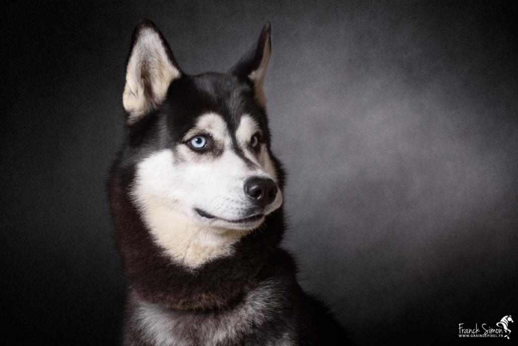 Django-et-Haska-chien-Husky-Grain-de-Pixel-101