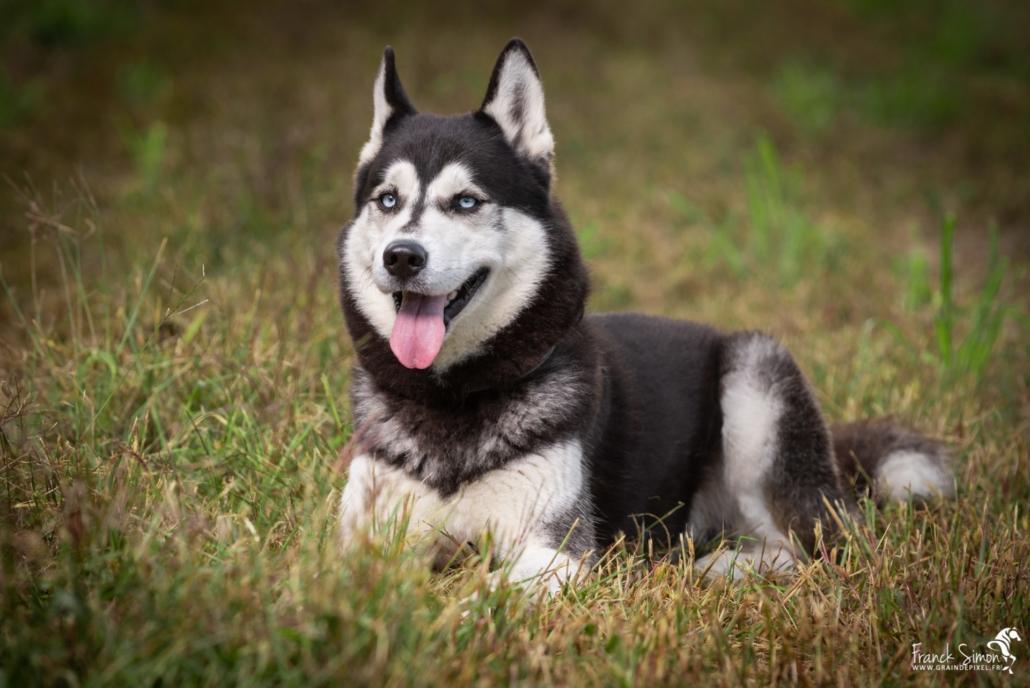 Django-et-Haska-chien-Husky-Grain-de-Pixel-16