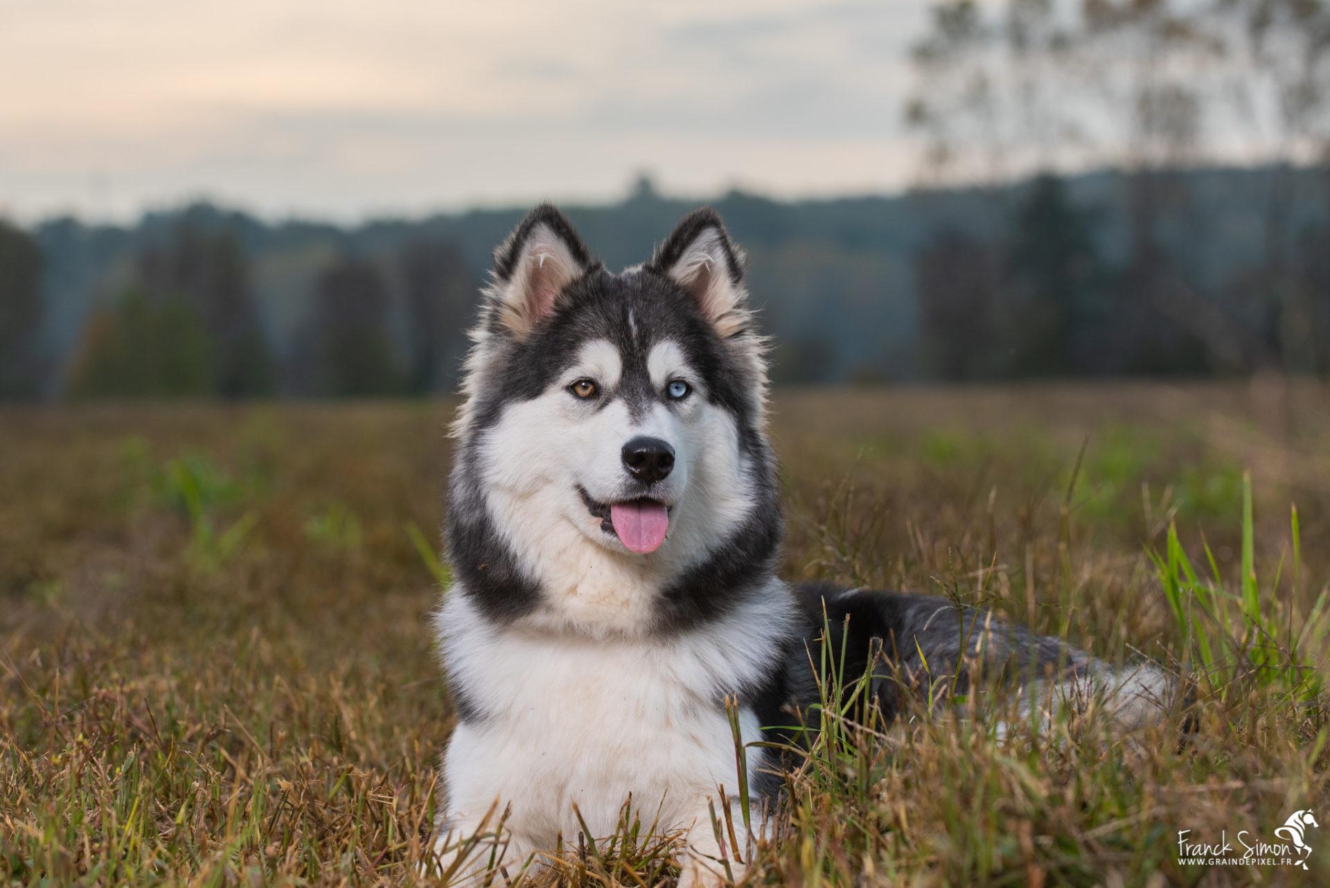 Django-et-Haska-chien-Husky-Grain-de-Pixel-29