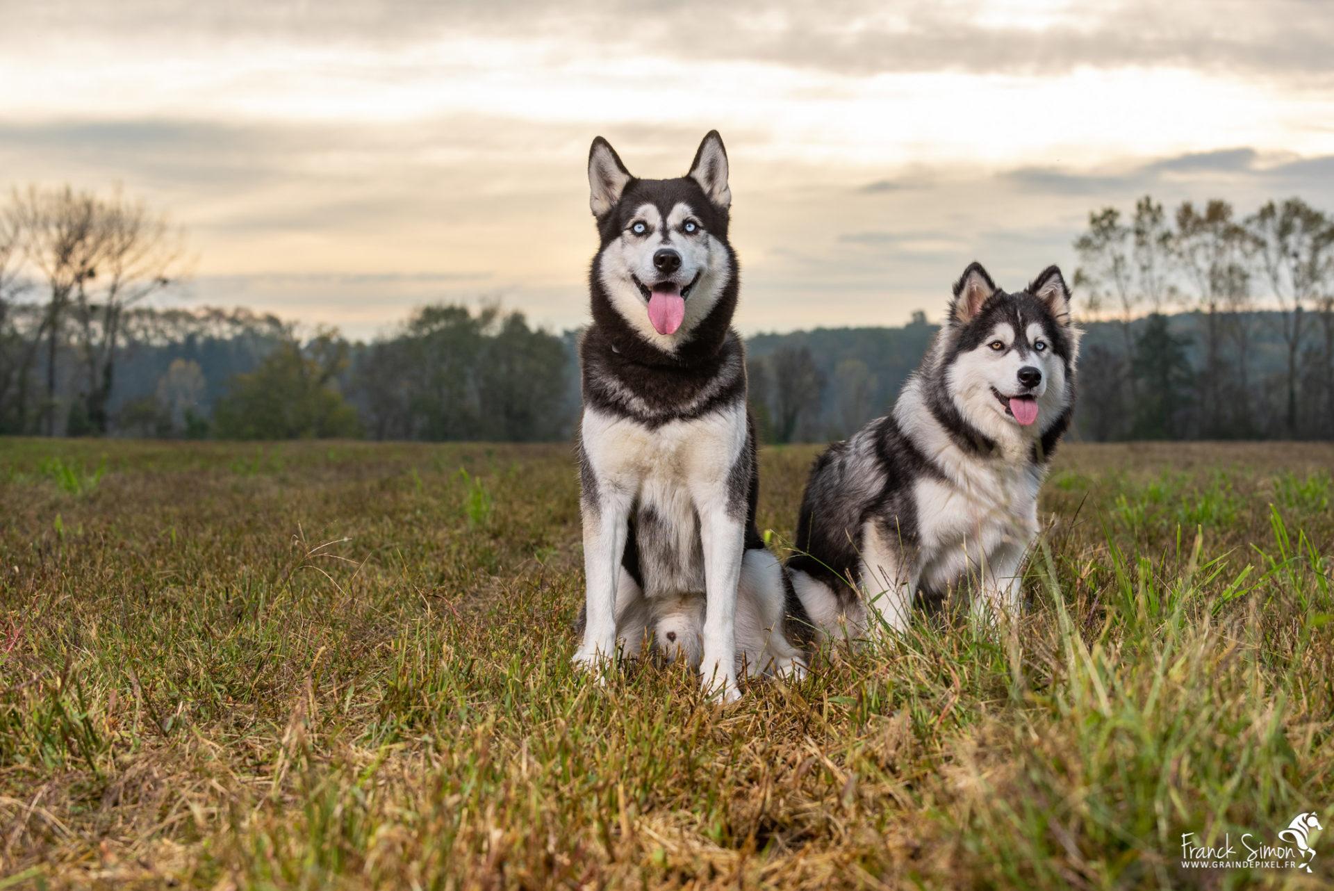 Django-et-Haska-chien-Husky-Grain-de-Pixel-39