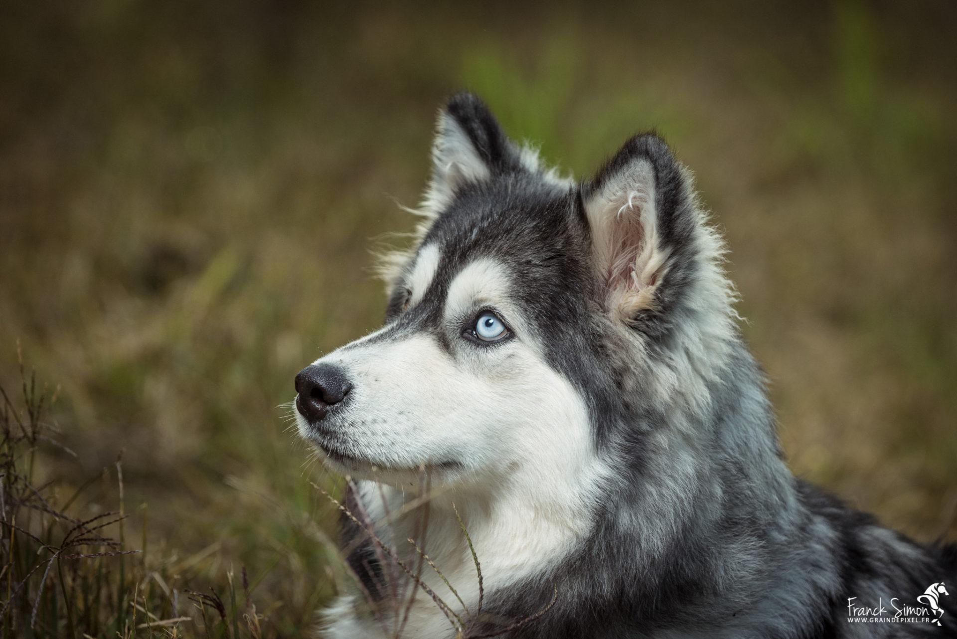 Django-et-Haska-chien-Husky-Grain-de-Pixel-4
