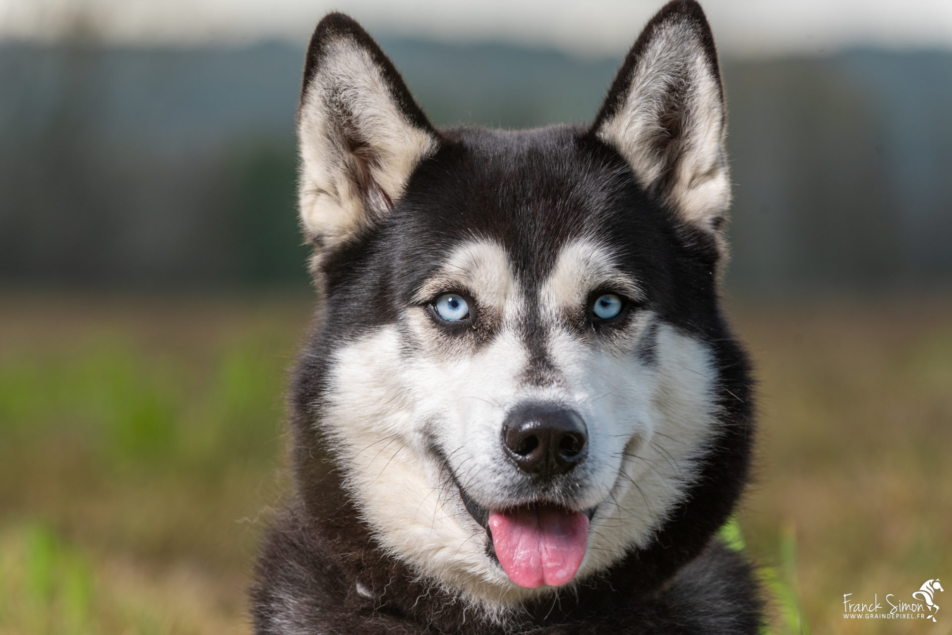 Django-et-Haska-chien-Husky-Grain-de-Pixel-55