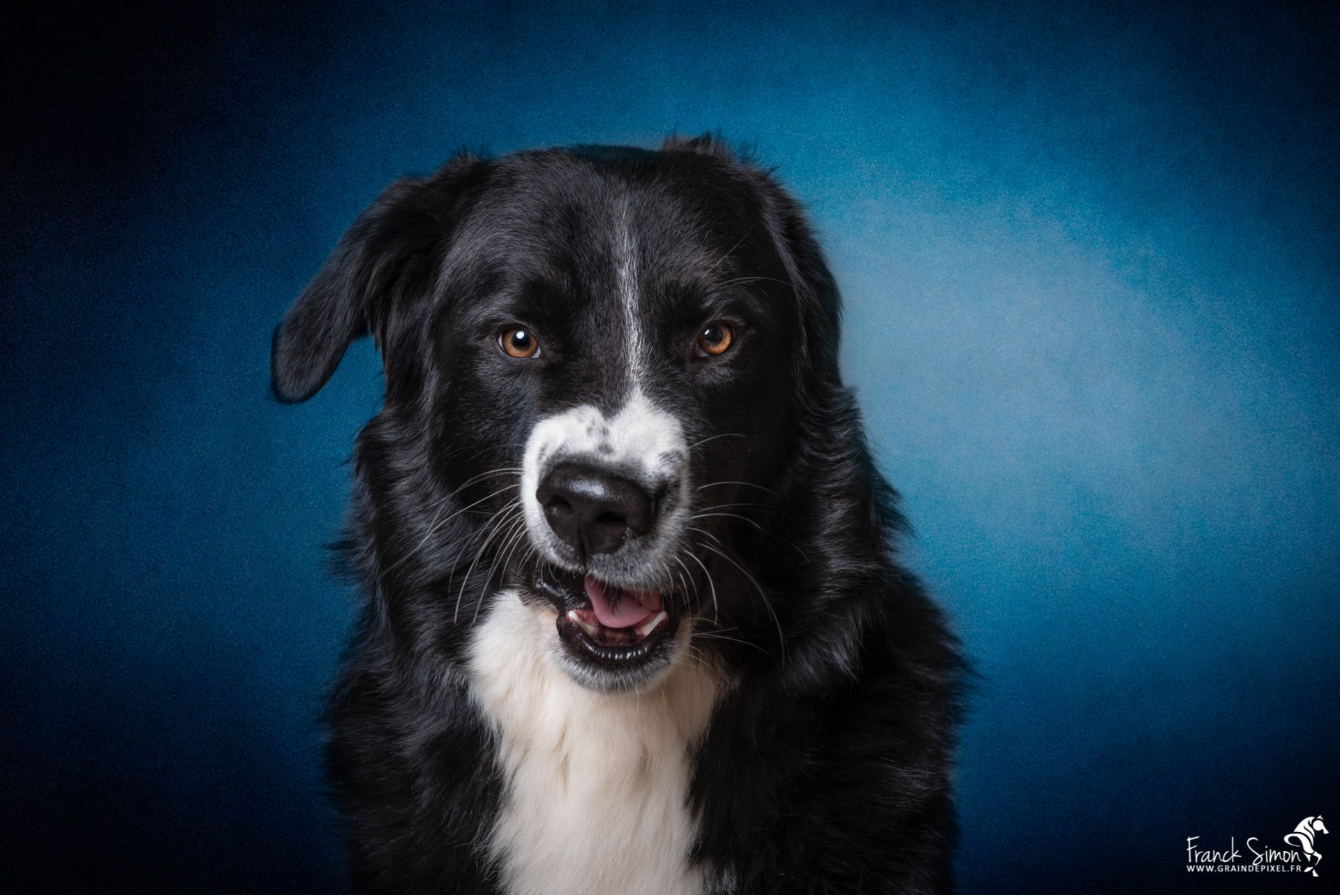 Oréo, bouvier bernois x Border Collie - Fun et Studio