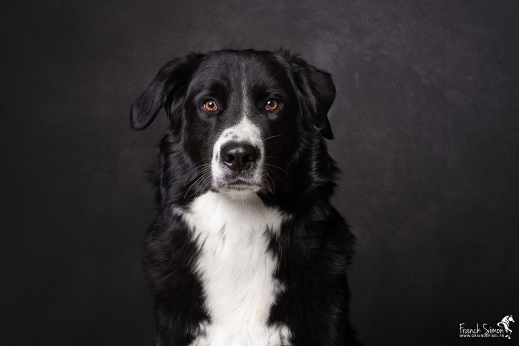 Oréo-chien-home-studio-6-grain-de-pixel-photographe-équestre-et-animalier