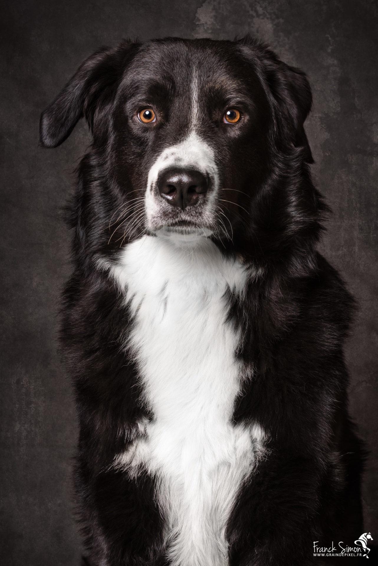 Oréo-chien-home-studio-6-grain-de-pixel-photographe-animalier