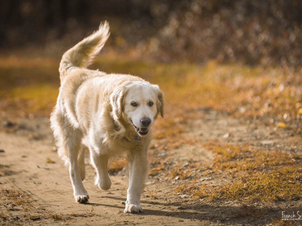 Bacchus_golden_retriever_grain-de-pixel-photographe-animalier-1