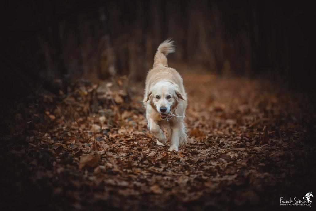Bacchus_golden_retriever_grain-de-pixel-photographe-animalier-1