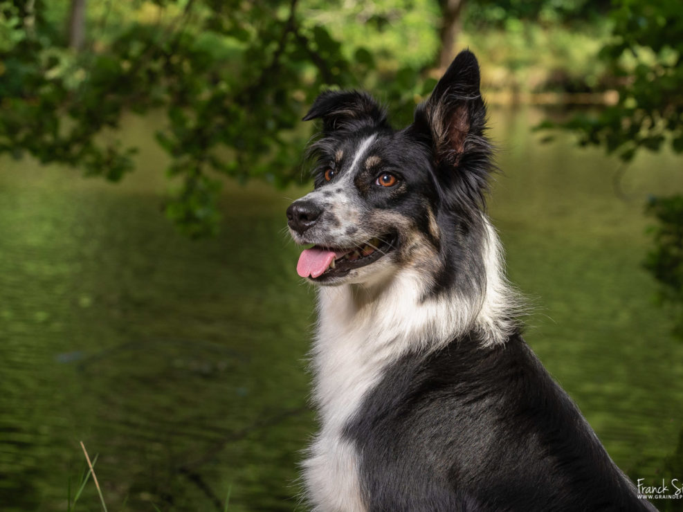 Nancy-border-collie-domaine-des-limousines-franck-simon-grain-de-pixel-photographe-equestre-animalier