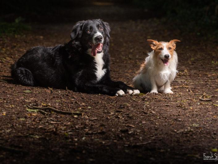 Oreo-bouvier-bernois-border-collie-chien-studio-forêt-franck-simon-grain-de-pixel-photographe-equestre-et-animalier