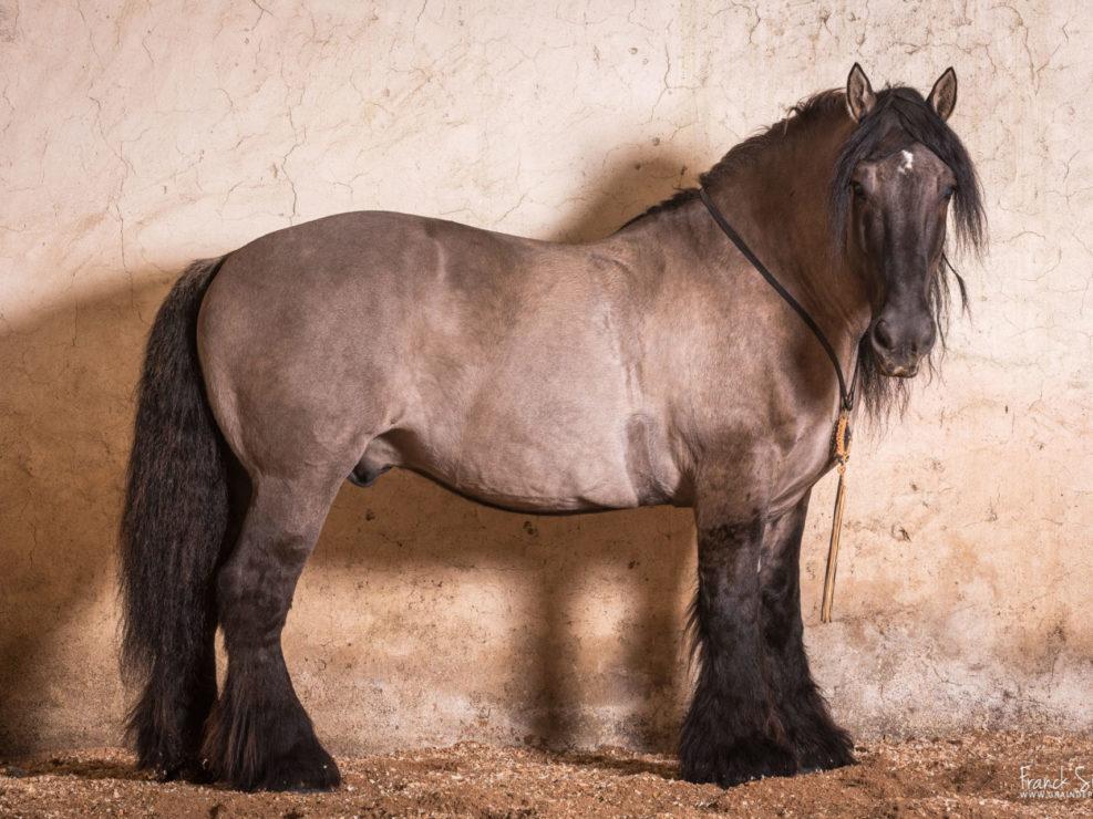 chandelae-2017-trait-poitevin-grain-de-pixel-photographe-equestre-animalier-1