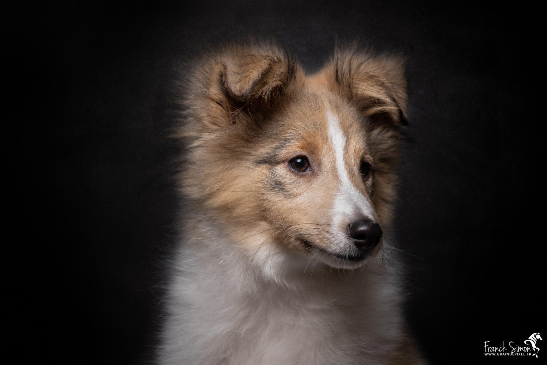 Séance studio canine