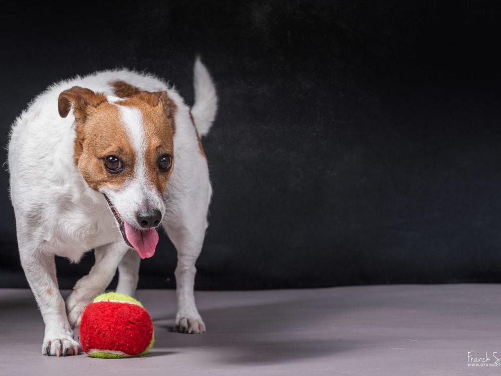 jack-russel-séance-photo-chien-grain-de-pixel-photographe-equestre-et-animalier
