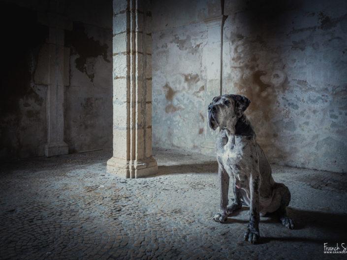jean-darm-dogue-allemand-séance-chien-franck-simon-photographe-équestre-et-animalier-charente-1