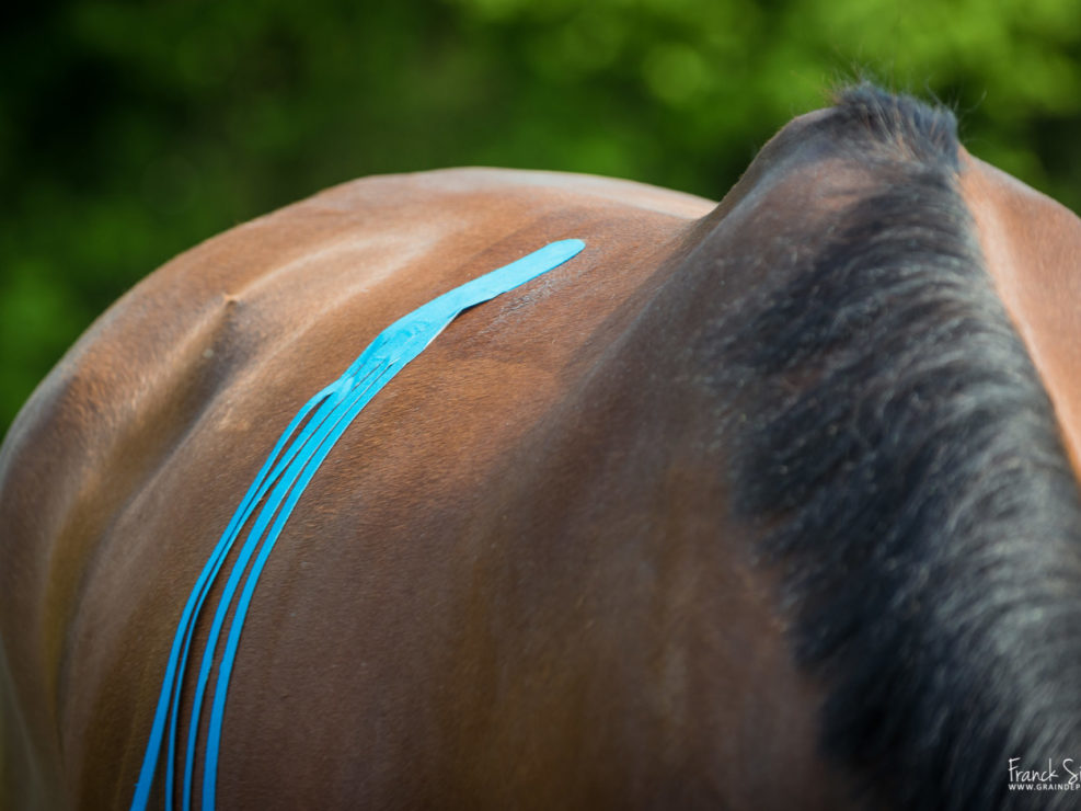 k-taping-animolistic-franck-simon-grain-de-pixel-photographe-équestre-et-animalier-