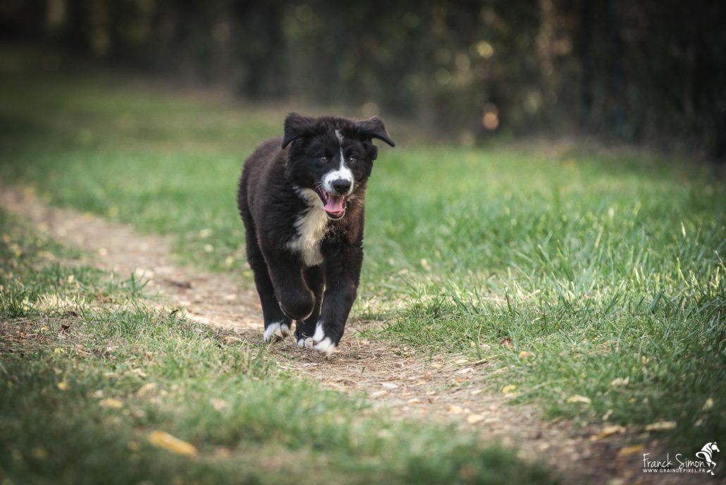 séance-canine-Oreo-bouvier-bernois-border-collie-chien-studio-forêt-franck-simon-grain-de-pixel-photographe-equestre-et-animalier