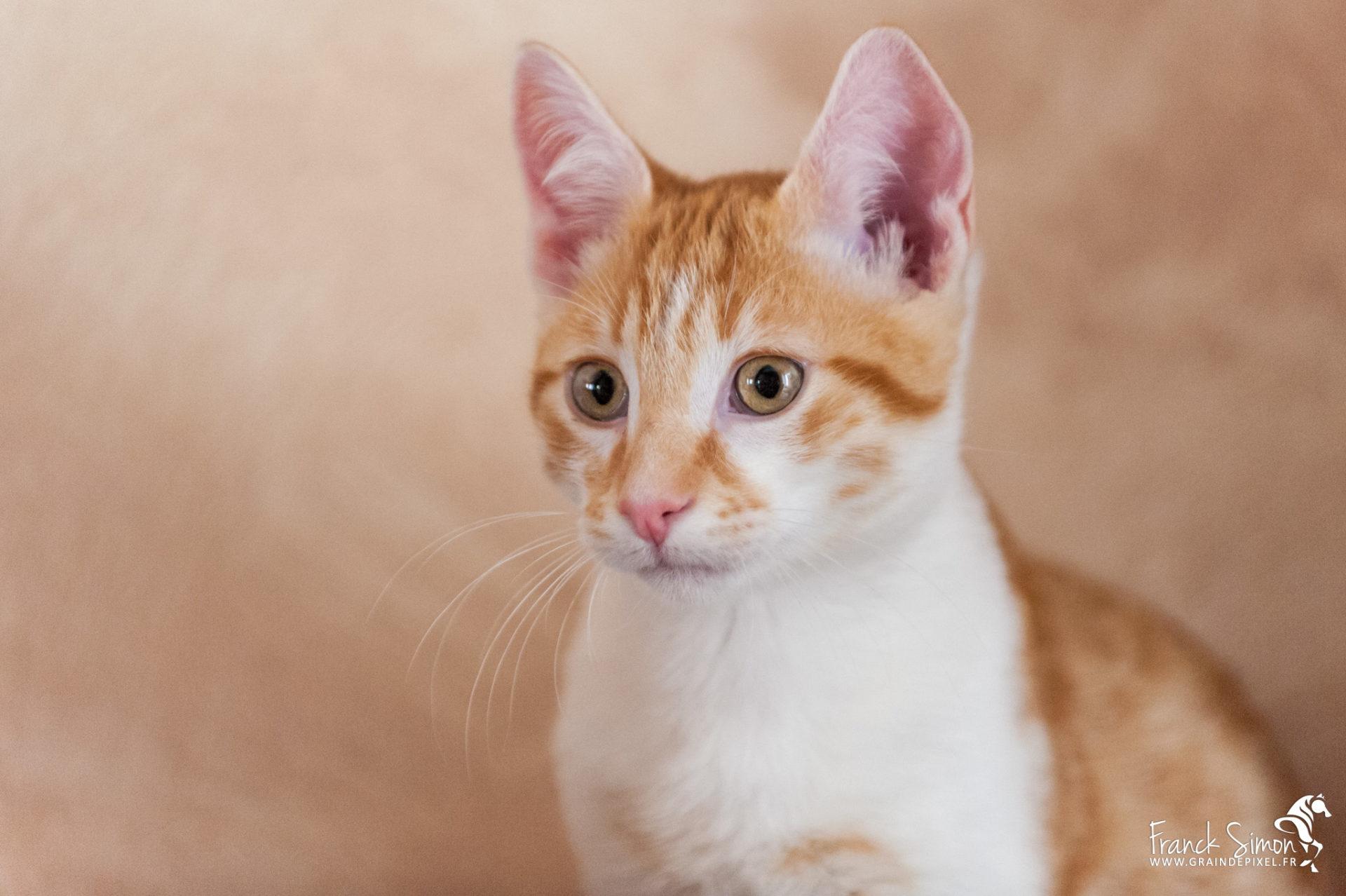 Pistache, le chat roux