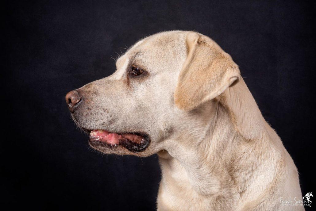 portrait-studio-guizmo-labrador-grain-de-pixel-photographe-equestre-animalier