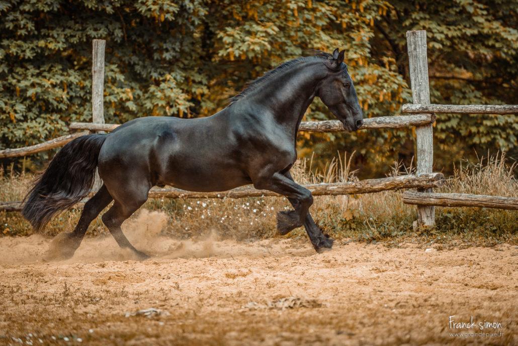 yelke-frison-mouvement-galop-grain-de-pixel-photographe-equestre